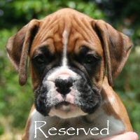 Boxer puppies - Tienlung's Proof of Concept (Canada), 7 weeks.