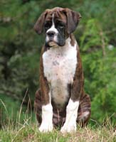 Boxer puppies - Ronin Pure Genius.
